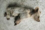 کشتن یک توله خرس در مشگین شهر با سم!