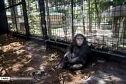 تصاویر جالب از زندگی تنها بچه شامپانزه ایران