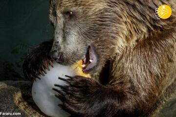 لذت خوردن میوههای یخی توسط حیوانات در باغ وحش های اروپا/تصاویر