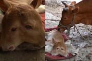 تولد گوساله عجیب دو سر در مقدونیه / فیلم