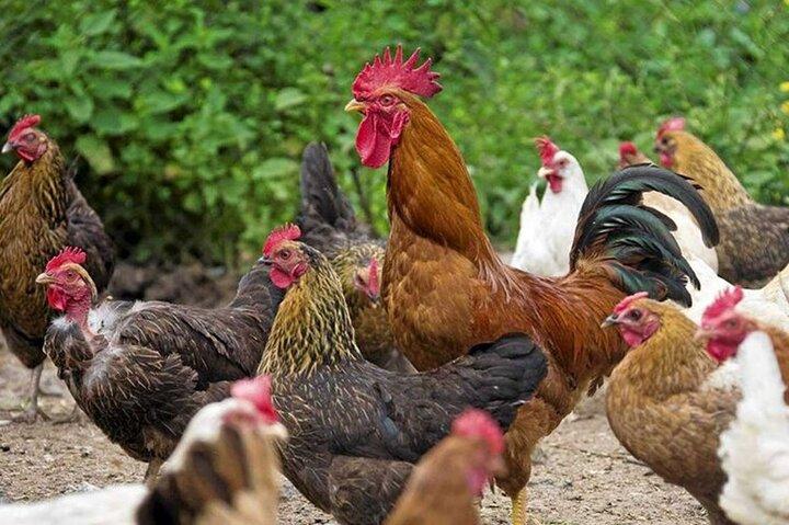 پرواز قیمت مرغ / افزایش هزار تومانی قیمت مرغ نسبت به روز گذشته
