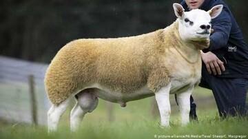 گرانترین گوسفند جهان + عکس