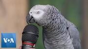 تقلید صدای جالب و تحسین برانگیز یک طوطی + فیلم