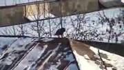 اسکی بازی جالب و هوشمندانه کلاغ روی شیروانی + فیلم