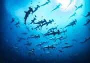 شکار بی رحمانه سفره ماهی توسط کوسه سرچکشی + فیلم