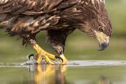 غذا دادن یک زن به بزرگترین عقاب جهان + فیلم