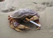 ویدئویی عجیب از خرچنگ سیگاری + فیلم
