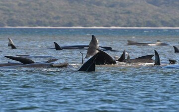 خودکشی ۳۸۰ نهنگ در سواحل استرالیا/ یک گروه بزرگ دیگر از این نهنگها در راه هستند