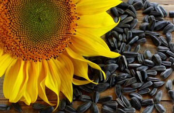 مزایا و معایب جالب تخمه آفتابگردان + خواص