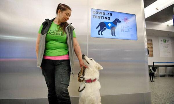 تشخیص ویروس کرونا در ۱۰ ثانیه به کمک سگ ها