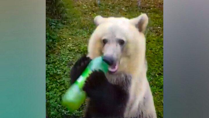ویدئویی دیدنی از علاقه جالب یک خرس به نوشابه + فیلم