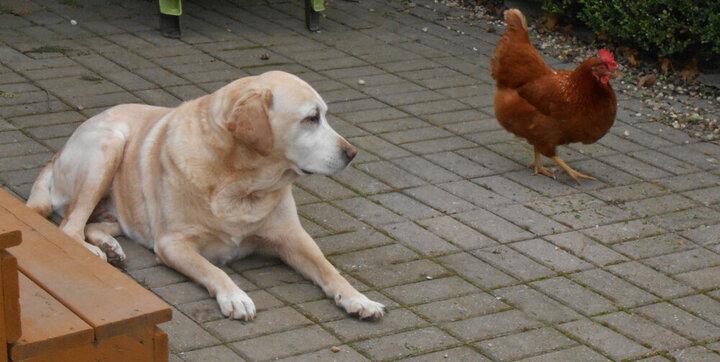 فیلمی خنده دار از بازی قایم باشک سگ و مرغ