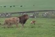 حمله عجیب سگ به شیر + فیلم