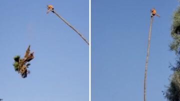 چیدن نارگیل از درخت ۳۰ متری + فیلم