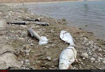 تلف شدن بیش از یک هزار قطعه ماهی در سد سردشت