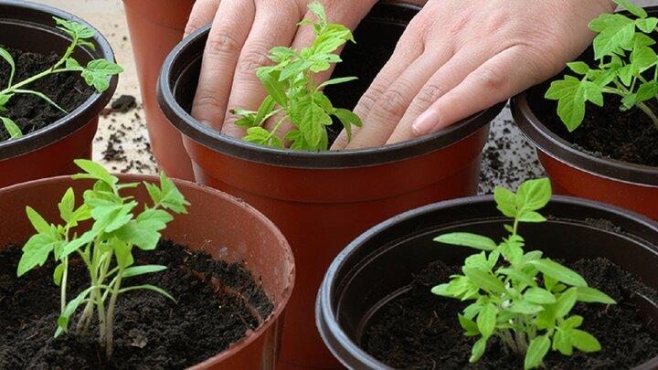 چطور در خانه درخت میوه بکاریم؟