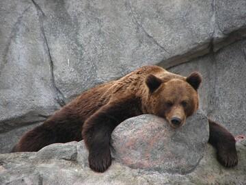 صخرهنوردی خرس در دل کوه + فیلم