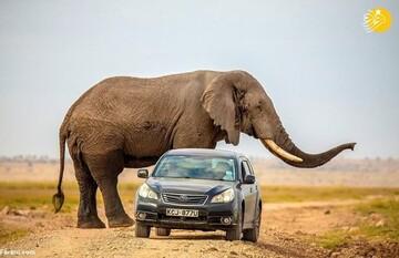 حمله وحشتناک فیل غول پیکر به خودرو + عکس