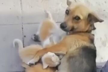 سگ مهربان مادر چند بچه گربه شد! + فیلم