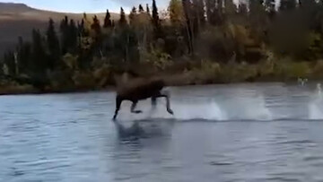 راه رفتن عجیب گوزن روی آب رودخانه + فیلم