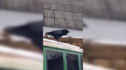 کلاغ عجیبی که به جای قار قار، پارس می کند + فیلم