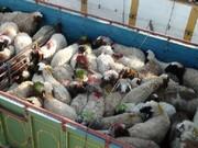 دلیل افزایش قیمت ناگهانی گوشت در تهران؛ قیمت دست ما نیست!