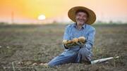 رشد ۱۰ درصدی تولید سیب زمینی در کشور