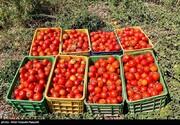 قیمت گوجه به زودی به ۴ هزارتومان خواهد رسید