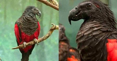 طوطی دراکولا پرندهای زیبا اما وحشتناک +تصاویر
