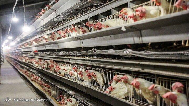 نایب رئیس انجمن مرغداران گوشتی: نرخ ۳۳۰۰۰ تومانی مرغ پذیرفتنی نیست