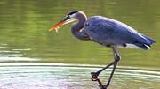 لحظه شکار و خوردن پرنده توسط مرغ ماهیخوار! / فیلم