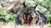 حمله عجیب گربه به مار بزرگ / فیلم