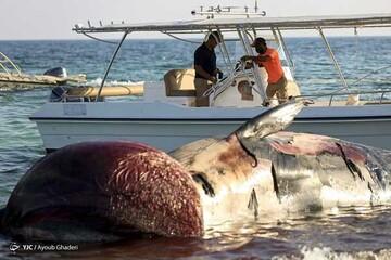 خودکشی دومین نهنگ در جزیره کیش / تصاویر