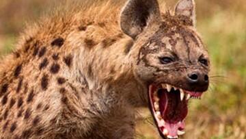 دعوای کفتار و کرکس بر سر خوردن لاشه یک حیوان/ فیلم