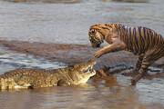 صحنه دلخراش شکار شدن یوزپلنگ توسط تمساح / فیلم