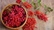 پیشگیری و درمان دیابت و پاکسازی کبد و کیسه صفرا با مصرف این گیاه