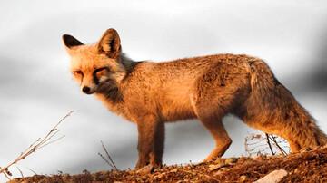 روباه زخمی به خانواده سنندجی پناه برد