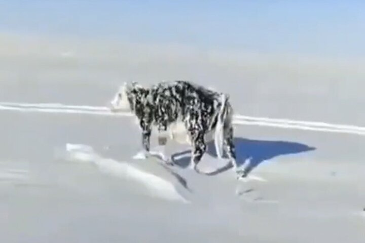 حیواناتی که در سرمای هوای قزاقستان ایستاده یخ زدهاند / فیلم