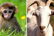 حرکات آکروباتیک و دیدنی میمون و بُز /فیلم