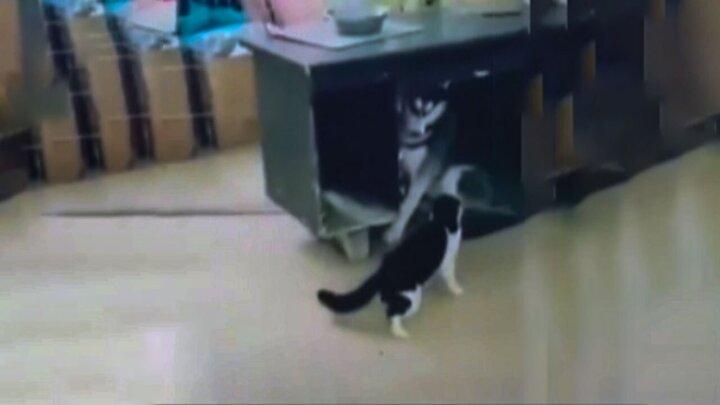 حمله عجیب گربه شجاع به سگ ترسو / فیلم