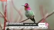 پرنده یک میلیارد تومانی که در یک دقیقه ۶۲ بار رنگ عوض میکند!/ فیلم