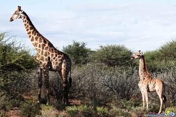 کشف گونه های جدیدی از زرافه با قامتی کوتاه در آفریقا / تصاویر