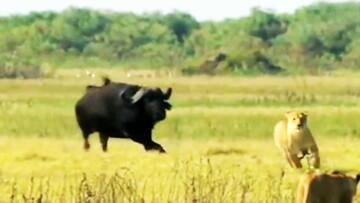 فرار عجیب شیر ماده از دست بوفالو / فیلم