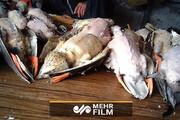 کشتار پرندگان مهاجر در شمال کشور / فیلم