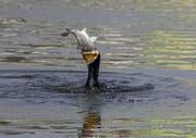 شکار ماهی توسط پرنده ماهی خوار/ عکس