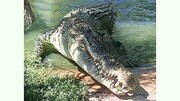 بزرگترین تمساح زنده دنیا/ عکس