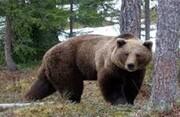 نجات کلاغ گرفتار شده در استخر توسط خرس/ فیلم