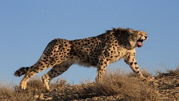 حمله یوزپلنگ گرسنه به گله گوسفندان/ تصاویر