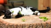 دلیل علاقه گربهها به نعناع چیست؟