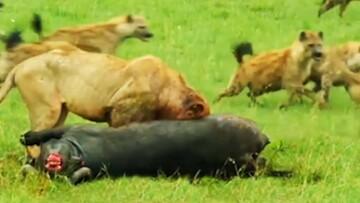 نبرد دو شیر ماده با گله کفتارها برای غذا / فیلم